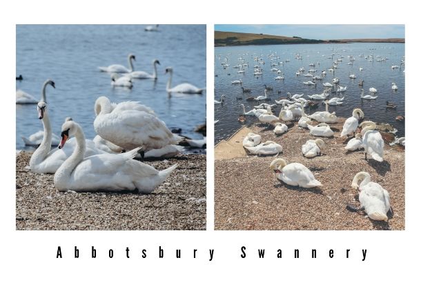 things to do in Dorset: Abbotsbury Swannery is a popular tourist attraction in Dorset, situated at the western end of the Fleet Nature Reserve. This is a place where swans nested for hundreds of years.
