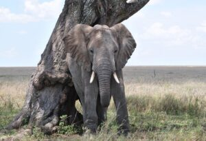 elephants walk the land of Serengeti