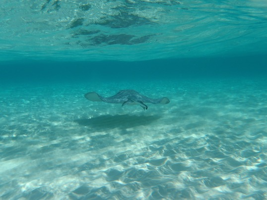 things to do in Antigua and Barbuda: Swimming with stingrays in Stingray City is one of the best things to do in Antigua and Barbuda. A few minutes speedboat ride from north of the island will bring you to a sandbank in the bay. Here, you can meet up face-to-face with hundreds of wild stingrays. Snorkel or swim in the shallow ocean with friendly creatures and enjoy this once in a lifetime experience.