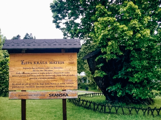 The King Matthias Linden Tree. Count Palffy put iron hooks into the tree`s crown to protect the largest branches from gale winds. Today this beautiful Linden tree is the property of the Slovak National Museum and one of the attractions in the city.